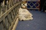 2011-01-09 My Dog, ingen Leonberger..