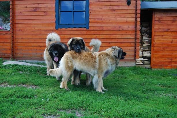 På väg hem stannade vi och hälsade på Max uppfödare, Christina o Frank på Aldibaras kennel. Max och Nelson leker med Bimbo