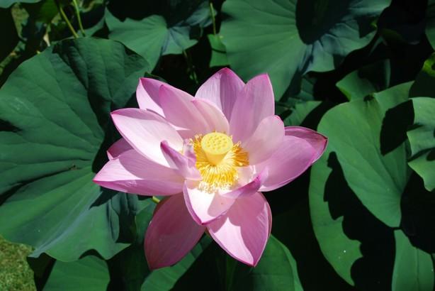 Blommande Lotusblomma.