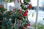 2011-01-23 Kameliorna blommar