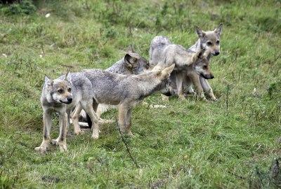 Visst är dom söta?!?        Från Skandinavisk Dyrepark på Jylland.    Foto: Rolf Eriksson