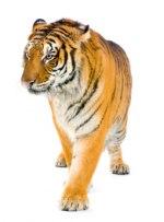 Tigrinnan vässar klorna!