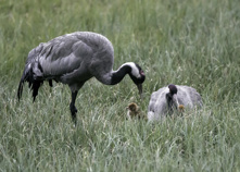 Tranfamilj m. 2 nykläckta ungar