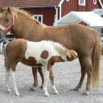 Tindra från Sågen? stoföl e Gneisti från Hvidagården u Elding från Hagen