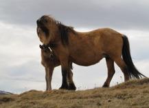 Þoka frá Hólum med fölet Þorgils frá Prestsbæ. Þorgils född 2014, är e. Stali frá Kjarri..
