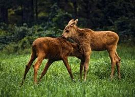 Elch Safari, Schweden