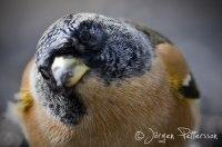 Nyfiken bergfink!