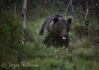 Lugnet i björnmarker!