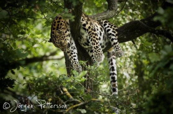 Avslappnad amurleopard! (hägn)