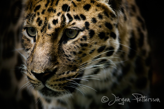 Amurleopard - Nordens Ark