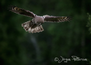 Lappuggla, Great Grey Owl, Strix nebulosa, II