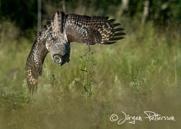 Lappuggla, Great Grey Owl, Strix nebulosa, III