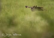 Lappuggla, Great Grey Owl, Strix nebulosa, VI