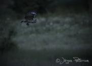 Lappuggla, Great Grey Owl, Strix nebulosa, VII