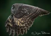Lappuggla, Great Grey Owl, Strix nebulosa, IX