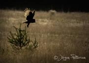 Lappuggla, Great Grey Owl, Strix nebulosa, X