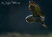 Lappuggla, Great Grey Owl, Strix nebulosa, V
