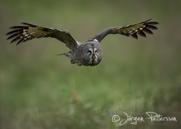 Lappuggla, Great Grey Owl, Strix nebulosa, XI