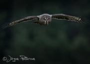 Lappuggla, Great Grey Owl, Strix nebulosa, VIII