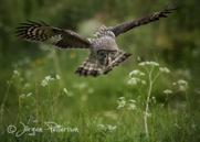 Lappuggla, Great Grey Owl, Strix nebulosa, IV