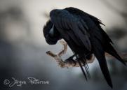 Korp,Common Raven,Corvus corax, XII