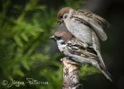 Pilfink,Eurasian Tree Sparrow,Passer montanus, I