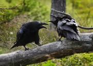 Korp,Common Raven,Corvus corax, V