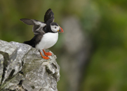 Lunnefågel,Atlantic Puffin,Fratercula artica, I