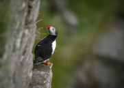 Lunnefågel,Atlantic Puffin,Fratercula artica, III
