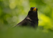 Koltrast,Common Blackbird,Turdus merula, II