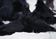 Korp,Common Raven,Corvus corax, I