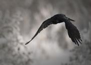 Korp,Common Raven,Corvus corax, II
