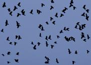 Kaja,Western Jackdaw,Corvus monedula, I