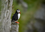 Lunnefågel,Atlantic Puffin,Fratercula artica, V