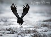 Korp,Common Raven,Corvus corax, VII