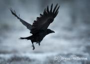 Korp,Common Raven,Corvus corax, VIII