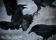 Korp,Common Raven,Corvus corax, X