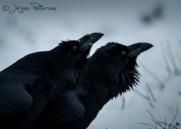 Korp,Common Raven,Corvus corax, XIII