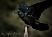 Korp,Common Raven,Corvus corax, XIV