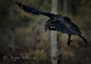 Korp,Common Raven,Corvus corax, XV