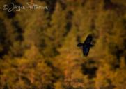 Korp,Common Raven,Corvus corax, IX