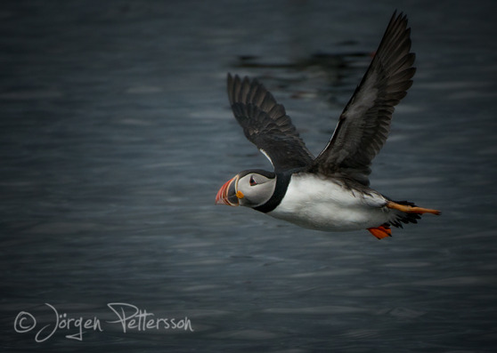 Lunnefågel, Atlantic Puffin, Fratercula artica