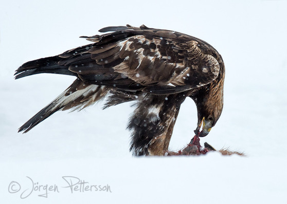 Kungsörn, Golden Eagle, Aquila chrysaetos