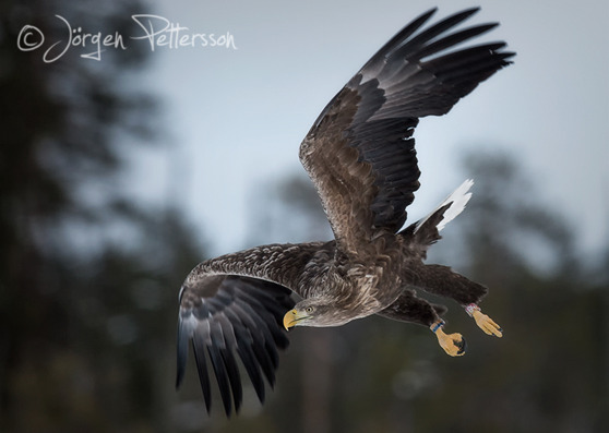 Havsörn, White-Tailed Eagle
