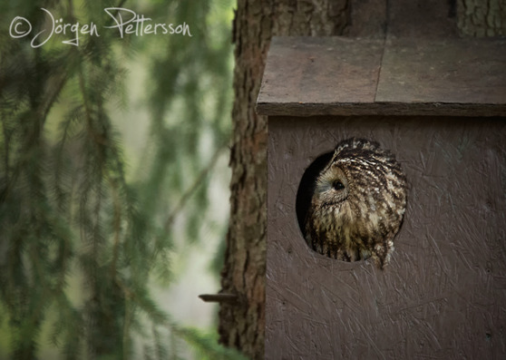 Kattuggla, Tawny Owl, Strix aluco