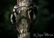Födosök 2, Större Hackspett, Great Spotted Woodpecker