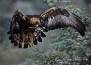 Kungsörn,Golden Eagle,Aquila chrysaetos, I