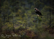 Kungsörn,Golden Eagle,Aquila chrysaetos, III
