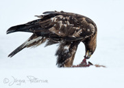 Kungsörn,Golden Eagle,Aquila chrysaetos, IX
