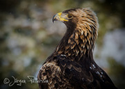 Kungsörn,Golden Eagle,Aquila chrysaetos, XIII